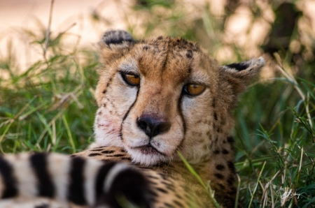 DSC_1524-2 Africa, Africa V, Cheetah, Kenya, Masai Mara.jpg