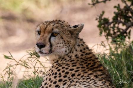DSC_1533-2 Africa, Africa V, Cheetah, Kenya, Masai Mara.jpg
