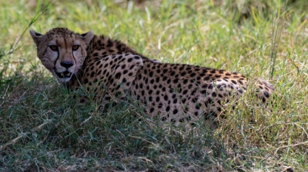 DSC_1596 Africa, Africa V, Cheetah, Kenya, Masai Mara.jpg