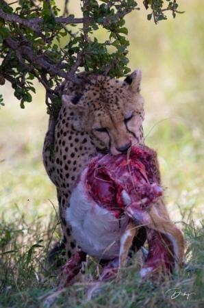 DSC_1130-2 Africa, Africa V, Cheetah, Kenya, Masai Mara.jpg