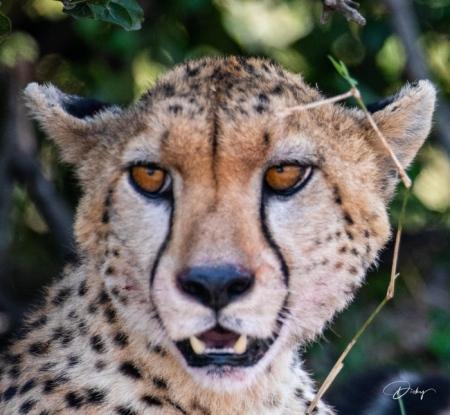 DSC_0930-2 Africa, Africa V, Cheetah, Kenya, Masai Mara.jpg