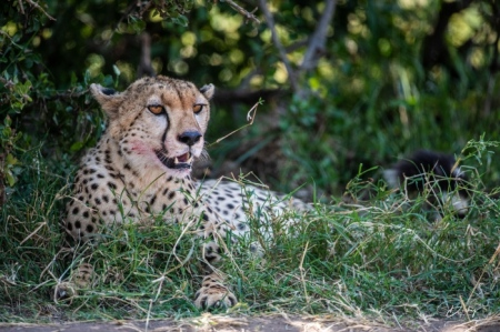 DSC_0898-2 Africa, Africa V, Cheetah, Kenya, Masai Mara.jpg