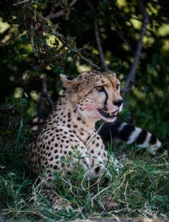 DSC_0924-2 Africa, Africa V, Cheetah, Kenya, Masai Mara.jpg