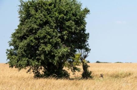 DSC_3627-2 Africa, Africa V, Cheetah, Kenya, Masai Mara.jpg