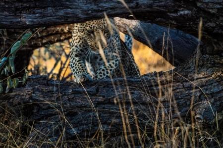 DSC_5186-2 Africa V, Leopardo, Sur Africa.jpg