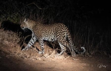 DSC_5970 Africa V, Leopardo, Sur Africa.jpg