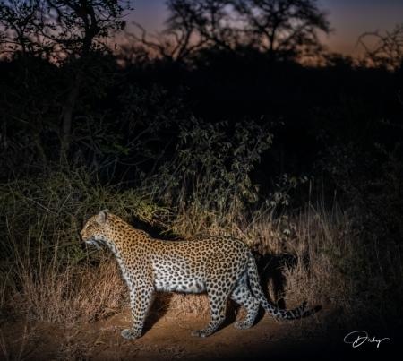 DSC_5965 Africa V, Leopardo, Sur Africa.jpg