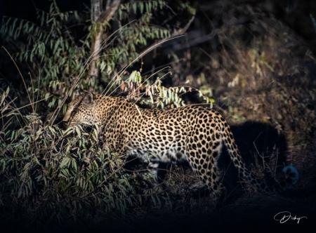 DSC_5944 Africa V, Leopardo, Sur Africa.jpg