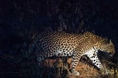 DSC_5066 Africa V, Leopardo, Sur Africa.jpg