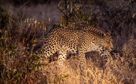 DSC_5903 Africa V, Leopardo, Sur Africa.jpg