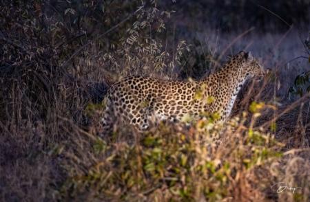 DSC_5899 Africa V, Leopardo, Sur Africa.jpg