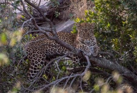 DSC_2034 Africa, Africa V, Kenya, Leopardo, Masai Mara.jpg