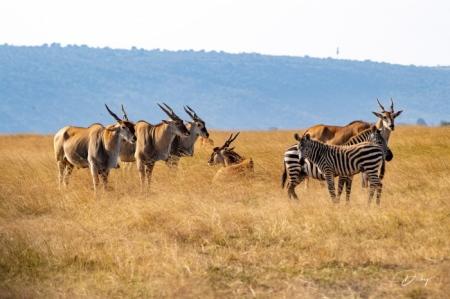 DSC_2440 Africa, Africa V, Antilope, Elai, Kenya, Masai Mara