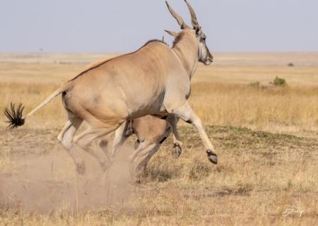 DSC_2454 Africa, Africa V, Antilope, Elai, Kenya, Masai Mara