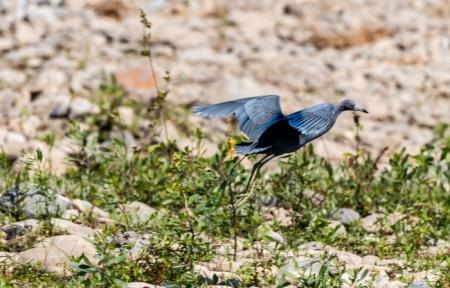DSC_9913 Caral, Garceta Azul, Garza Azul.jpg