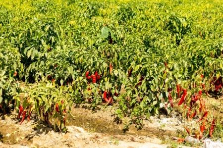 DSC_9587 Caral, Sembradio Chile, Valle de Supe.jpg