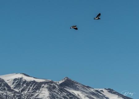 DSC_1710 Argentina, aves, Parque Nacional Los Glaciares.jpg