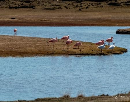DSC_2308 Chile, flamenco, Parque Nacional Torres de Paine.jp