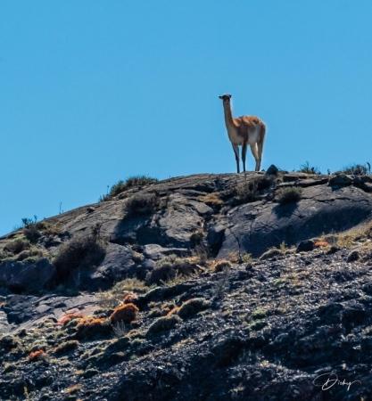 DSC_2393 Chile, Guanaco, Parque Nacional Torres de Paine.jpg