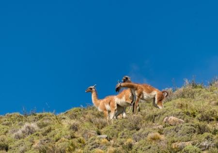 DSC_2735 Chile, Guanaco, Torres de Paine.jpg