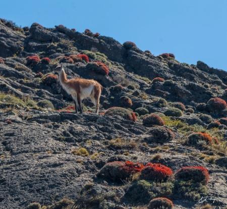 DSC_2741 Chile, Guanaco, Parque Nacional Torres de Paine, To