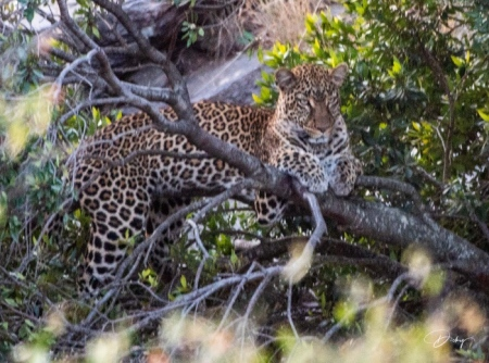 DSC_2044 Africa, Africa V, Kenya, Leopardo, Masai Mara.jpg