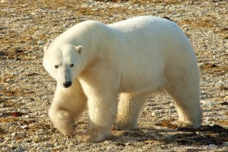 dsc 2678 Oso Polar, Churchill, Manitoba, Canadá