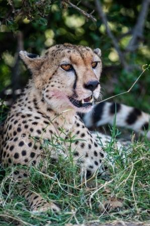 DSC_0955-2 Africa, Africa V, Cheetah, Kenya, Masai Mara.jpg