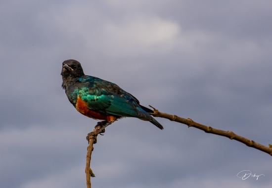_DSC2549 Ambosseli, Estornino, Kenya.jpg