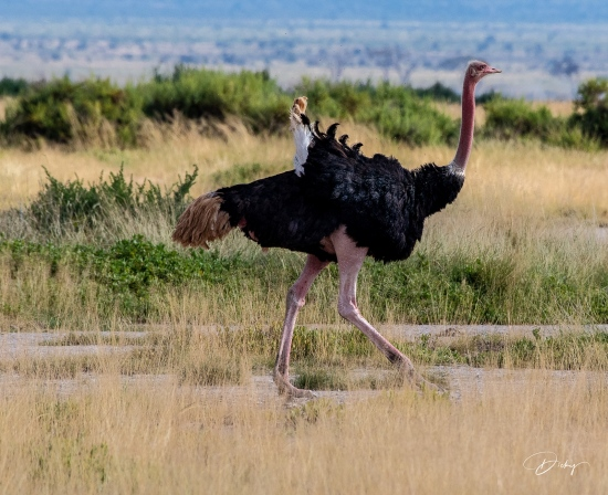 _DSC8730 Ambosseli, Avestruz, Kenya.jpg
