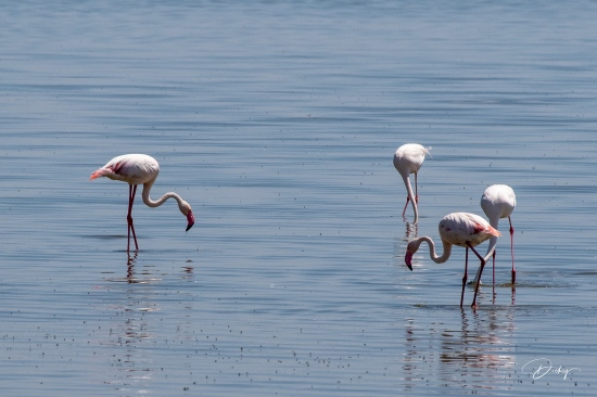 _DSC8810 Ambosseli, flamingo, Kenya.jpg