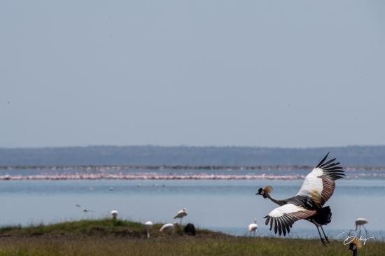 _DSC8889 Ambosseli, Grulla Coronada, Kenya.jpg