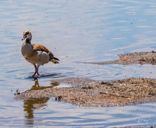 _DSC8970 Ambosseli, Kenya, Pato africano.jpg