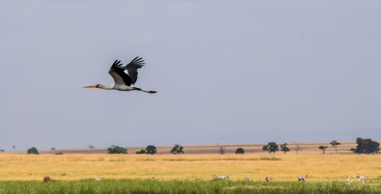 DSC_0067 cigueña africana, Kenya, Masai Mara.jpg