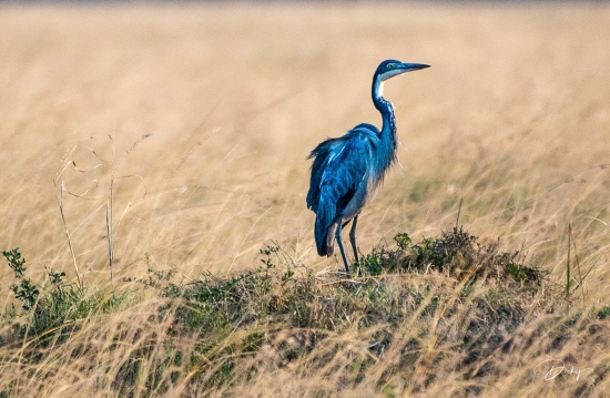 DSC_2722 Heron Africano, Kenya, Masai Mara.jpg
