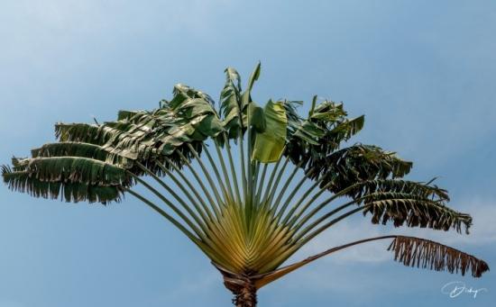 DSC_9043 Palmera, Costa del Sol