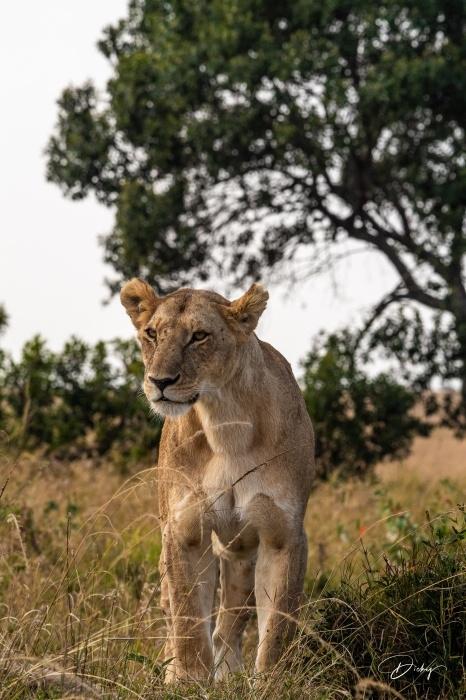 DSC_2893 Africa, Africa V, Kenya, leon, Masai Mara.jpg