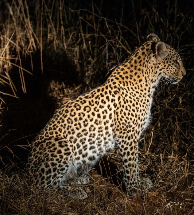 DSC_5997 Africa V, Leopardo, Sur Africa.jpg