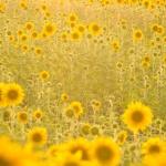 Rumanía, Romania, Verano, Amarillo, Sunflower