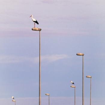 Las cigüeñas ya no vuelven por San Blas.