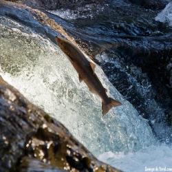 Remonte de salmón.