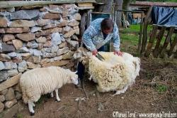Laudino tosquilando les oveyes