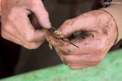 Enhebramos el gusano en el cordel.