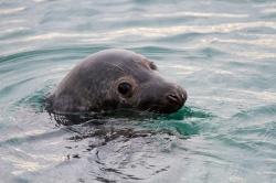 Noega, la foca.