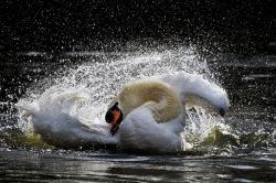 Cisne contorsionista.