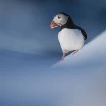 The return of Puffins