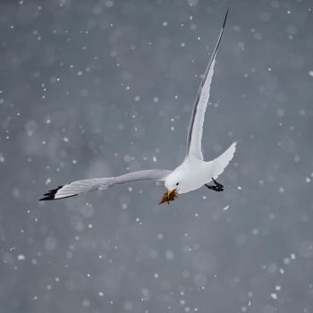 Seabirds and snow