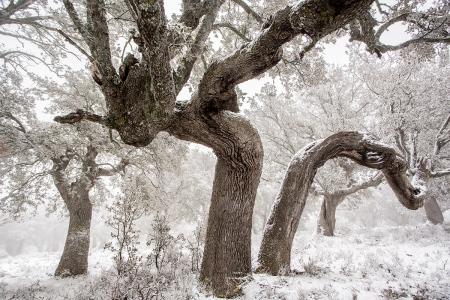 Uge Fuertes, Teruel, arte, creatividad,fotografia, metáfora visual, simbolismo, naturaleza,  vegetal, art, creativity, expresión,Guadalajara, El Pedregal, Nieve, Encina, tronco, viejo, heridas, Quer
