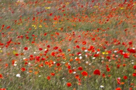 Uge Fuertes, Teruel, arte,amapola, poppy,impresionismo, barridos, creatividad,fotografia, metáfora visual, simbolismo, naturaleza,  vegetal, art, creativity, expresión, alma, exposición, flores, de