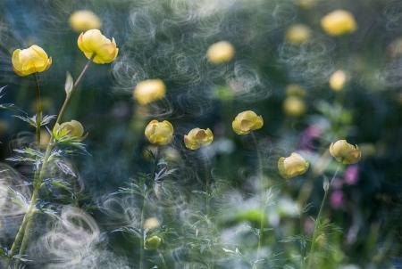 Uge Fuertes, Teruel, arte, creatividad,fotografia, metáfora visual, simbolismo, naturaleza,  vegetal, art, creativity, expresión, flores, desenfocando la mirada, composición, trollius europaeus,